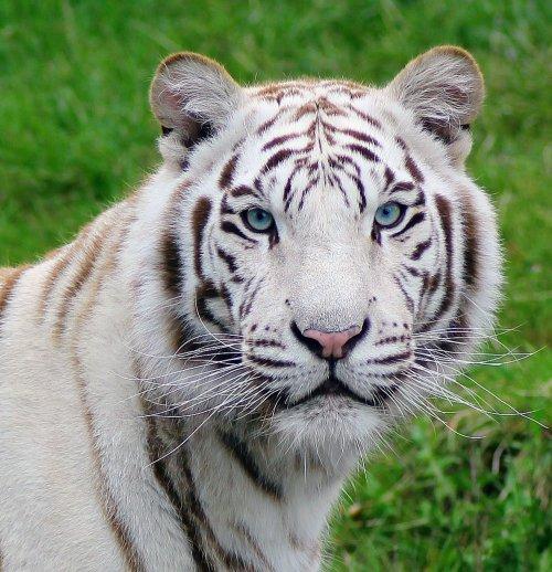 Vit tiger på Junsele djurpark