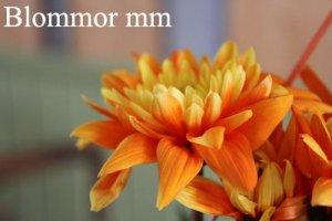 blommor-mm-fodelsedagsblomma