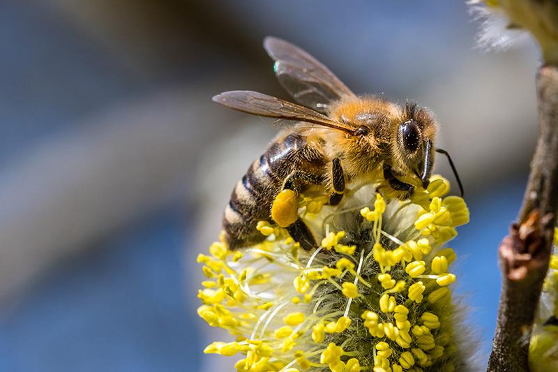 Pollingering av växter