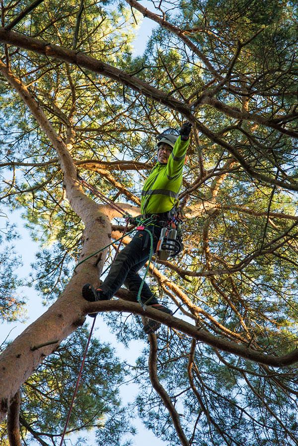 Greenwelle A&L beskär ett träd från en annan vinkel