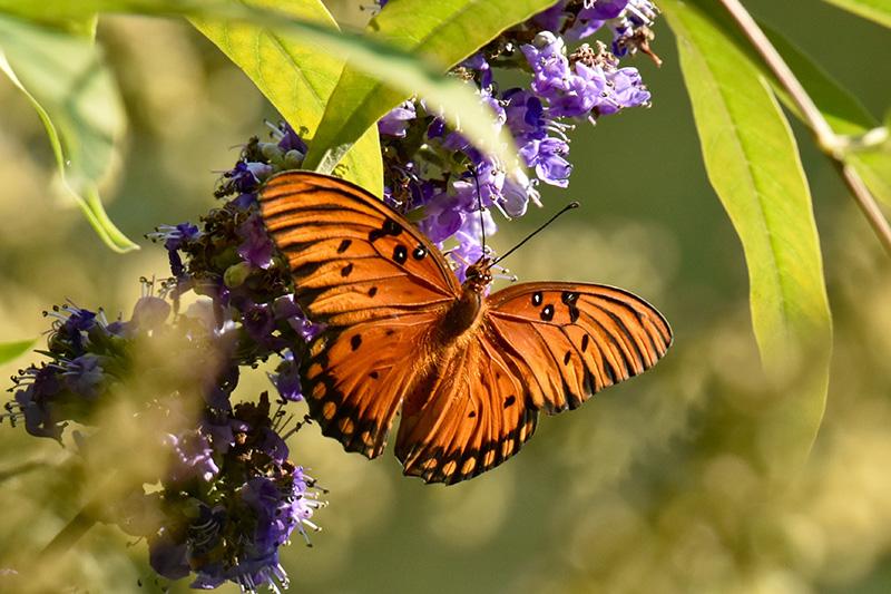 En fjäril som pollinerar