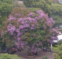 Pohon bungur yang sedang berbunga