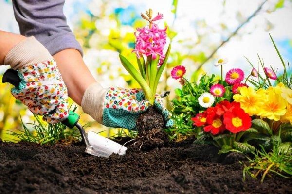 Kvinna planterar lilja