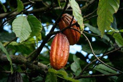 Kakaoträd