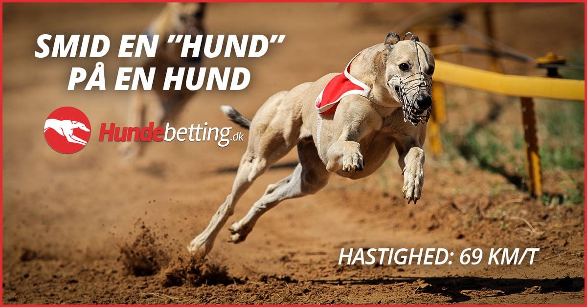 greyhound hundevæddeløb
