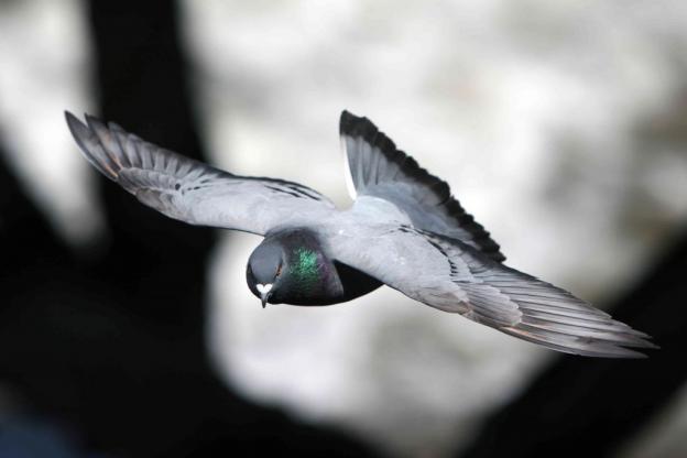 pigeon flying, induetime.dk