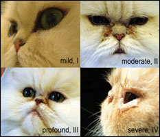 /brachycepalic-cats-faces-lg.jpg