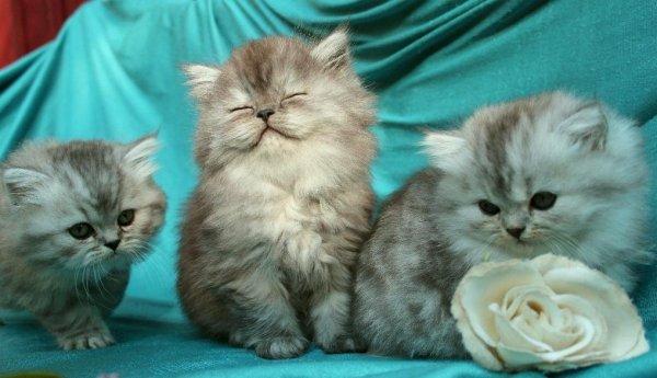 kattungar i olika silverfärger, smoke chinchilla och shaded silver