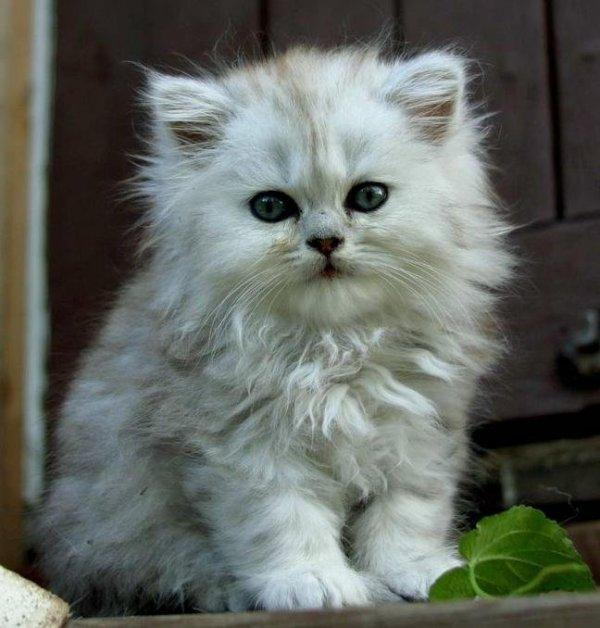 /svart-silver-shaded-katter-retro-klassisk-traditionell-perser.jpg