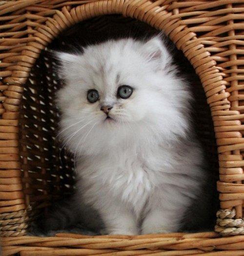 /svart-silver-chinchilla-perser-katter.jpg