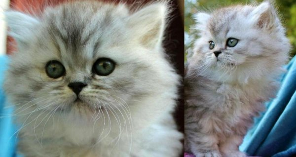shaded silver 75 prcent chinchillaperser 25 procent maine coon katter