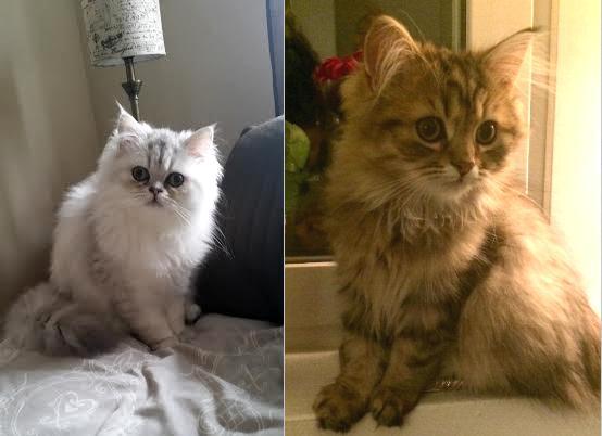 /golden-och-svart-silver-shaded-katter-av-klassisk-perser-och-maine-coon.jpg