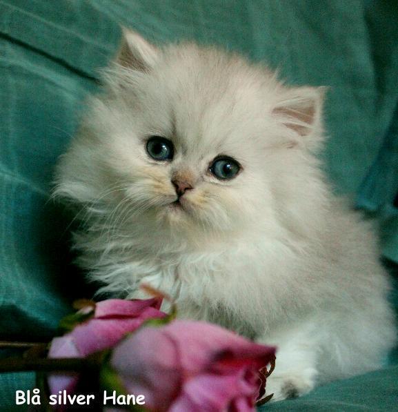 Blå silver chinchilla perser