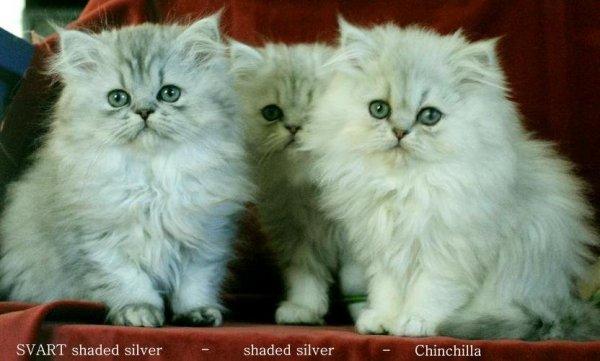 chinchillaperser och shaded silver chinchilla katter
