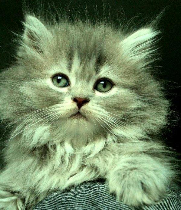 Blå silver katt