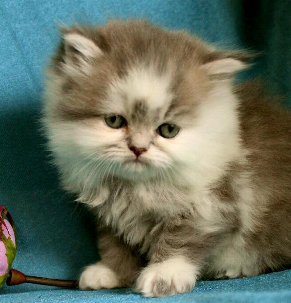 Blå golden och vit chinchillaperser blandning med maine coon katt