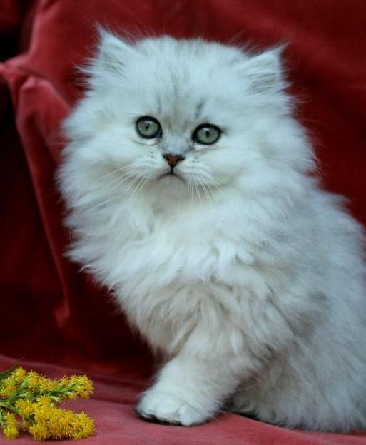 /ljus-svart-silver-shaded-klassisk-perser-kattunge-hane-1.jpg