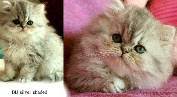 bla silver shaded klassisk perser katt kattunge