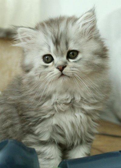 Svart silver shaded katt Mainecoon perser mix blandning