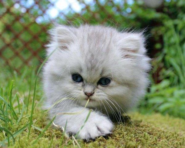 /blasilver-shaded-hane-kattunge-chinchilla-klassisk-traditionell-retro-perserkat.jpg