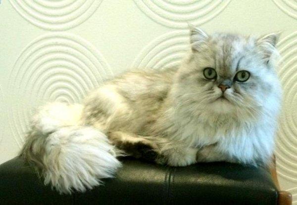 /svart-silver-shaded-hane-katt-retro-perser.jpg