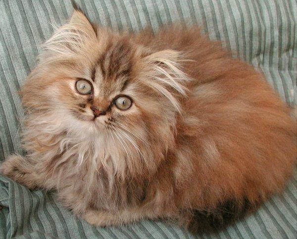 /golden-shaded-kattunge-klassisk-perser-i-varm-farg.jpg