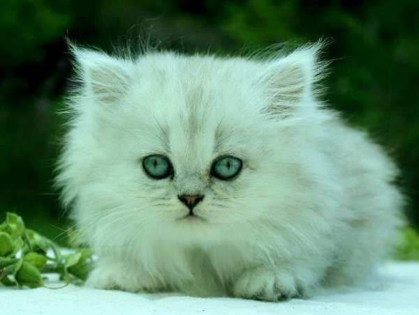 chinchillaperser kattunge gröna ögon