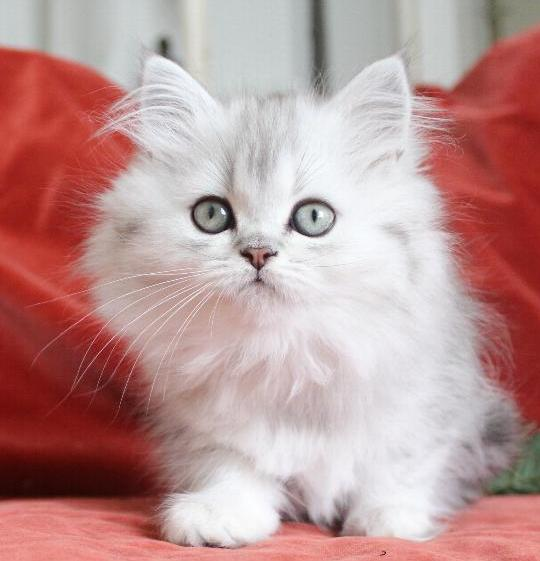/svart-silver-shaded-hona-kattunge-87-procent-chinchillaperser-katt.jpg