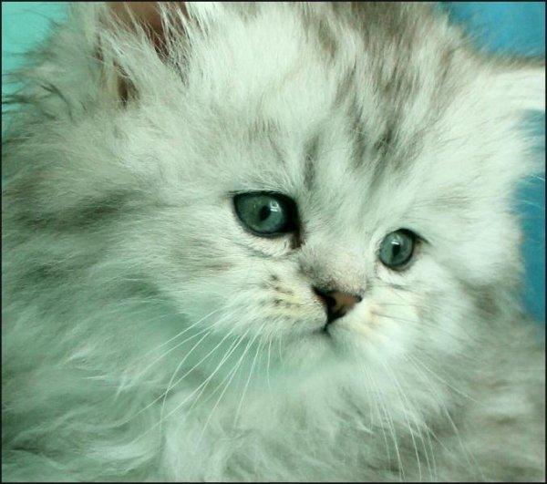 vacker kattunge shaded silver perser