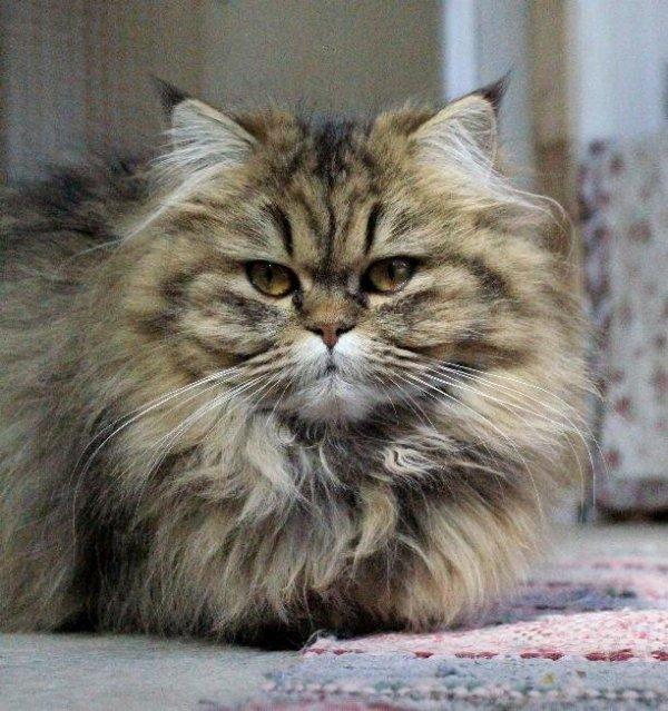 Golden shaded vuxen katt klassisk perser mainecoon