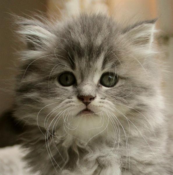 Blå silver färg på katt