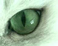 Grön ögon och eyeliner på en svart silver chinchilla perser katt
