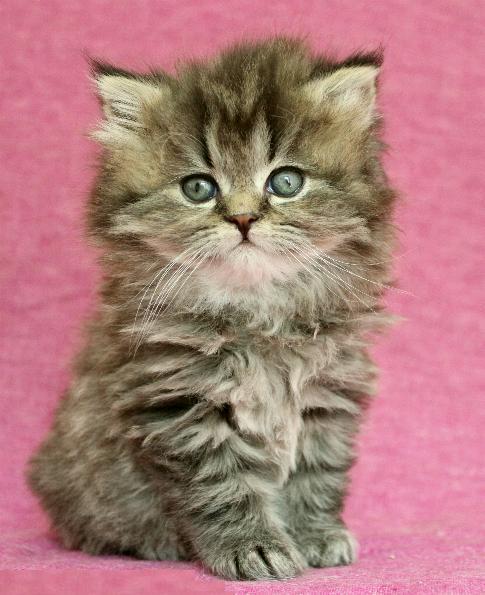 /golden-klassisk-perser-chinchilla-katt.jpg