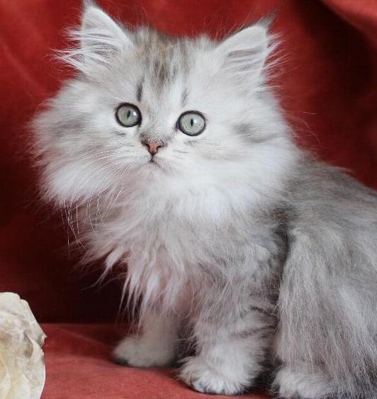 /svart-silver-shaded-hankatt-kattunge-chinchilla-perser.jpg