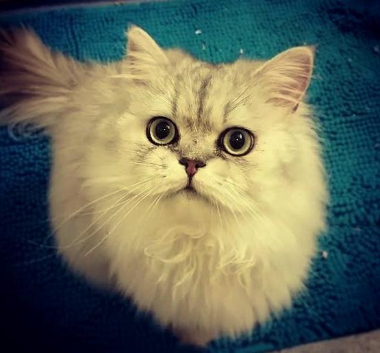 /svart-silver-shaded-hane-vuxen-katt-traditionell-perserkatt.jpg
