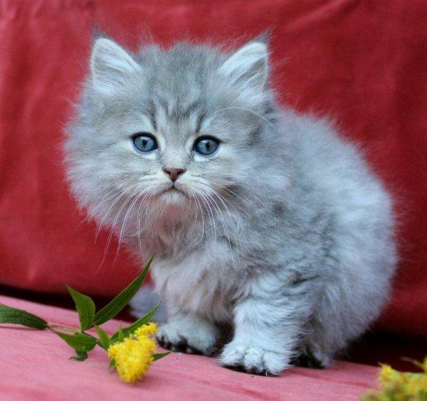 /bla-silver-hane-2-klassisk-traditionell-perser-katt-mix-1.jpg