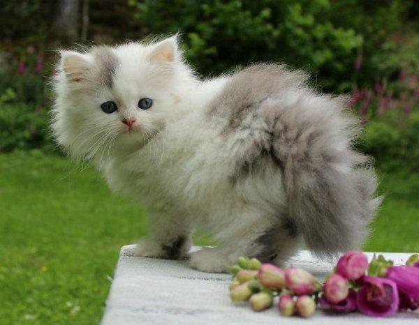 /vit-o-blå silver kattunge katt klassisk perserkatt