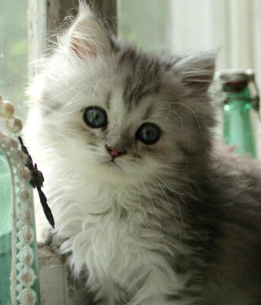 Svart silver shaded kattunge