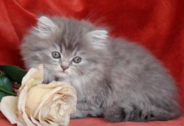 /bla-silver-katt-kattunge-75-procent-klassisk-chichilla-perser-mix-med-maine-coo.jpg