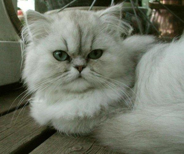 /lea-chinchilla-shaded-silver-perser-som-ung.jpg