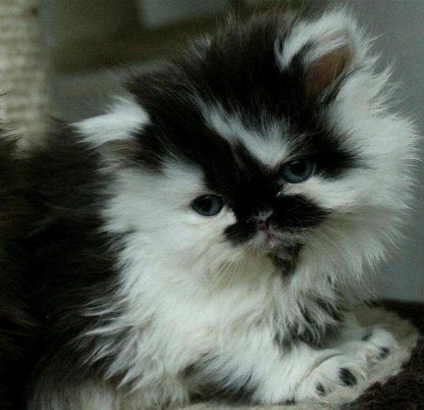 chocklad och vit katt