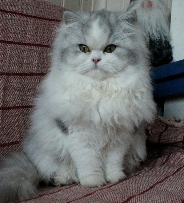 Blå silver och vit 75 procent klassisk perser katt