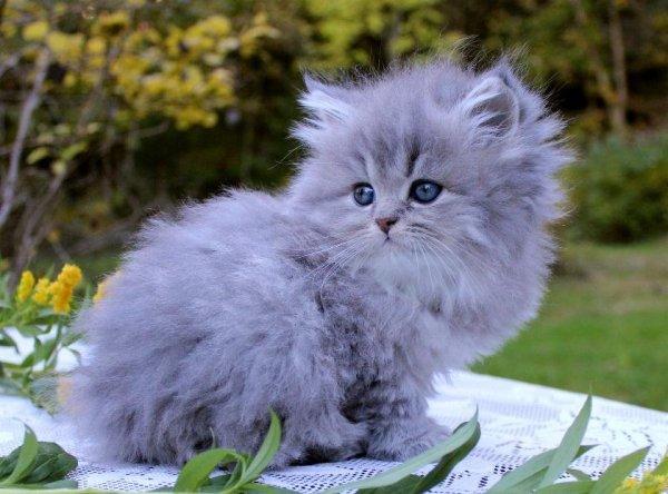 /bla-silver-hane-1-klassisk-traditionell-perser-katt-mig.jpg