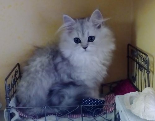 /busfrot-chichillaperser-mainecoon-mix-kattunge-silver-shaded-katt.jpg