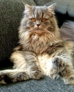/bla-silver-spotted-katt.jpg