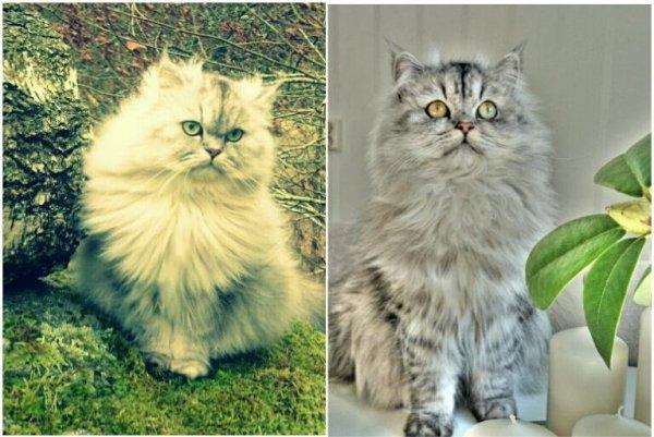 svart silvershaded 87% chinchilla perser vuxna katter pewter med gula ögon