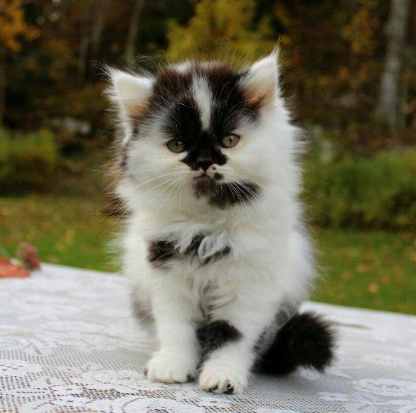/svartvit-hane-klassisk-perser-mix-kattunge.jpg