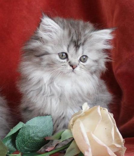 /svart-silver-tigre-75-procent-chinchilla-klassisk-perser-katt-bladning-med-maine