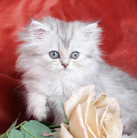 /svart-silver-shaded-klassisk-perser-mix-kattunge.jpg