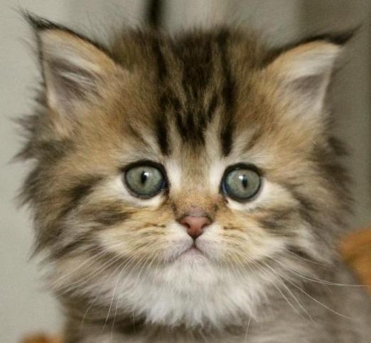 Goldenshaded katt med perser och maine coon mix